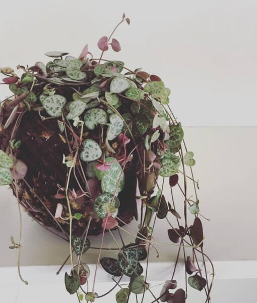 chain of hearts kokedama